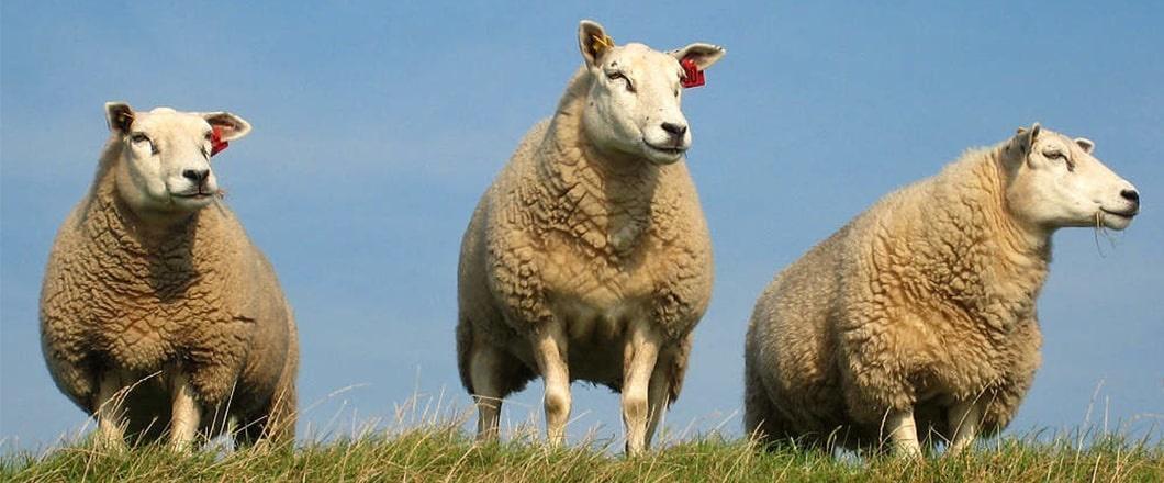 Texels Schaf-Rasse