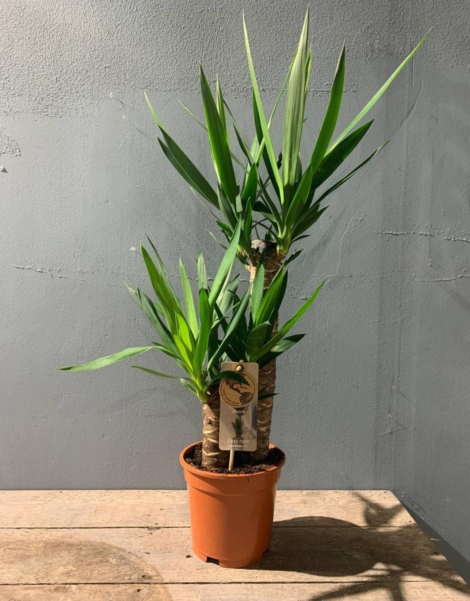 Kamerplant Yucca