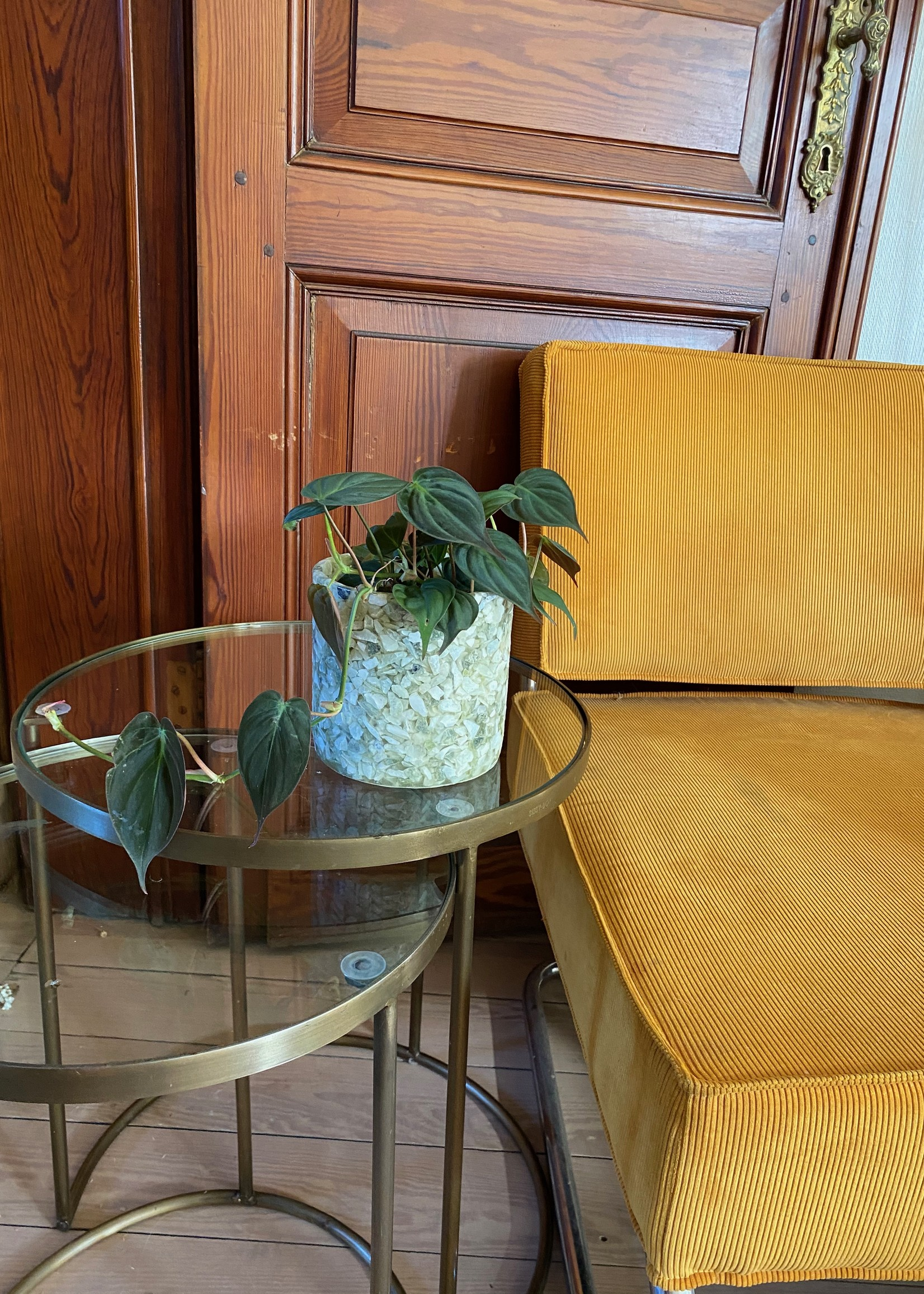 PHILODENDRON SCANDENS MICAN ⌀12