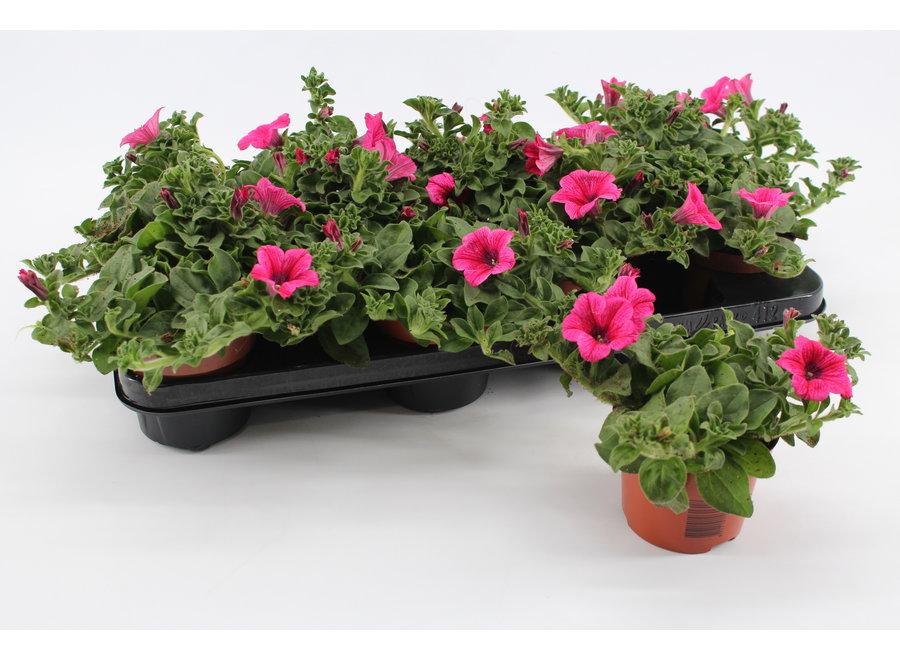 Petunia pink - 12 stuks