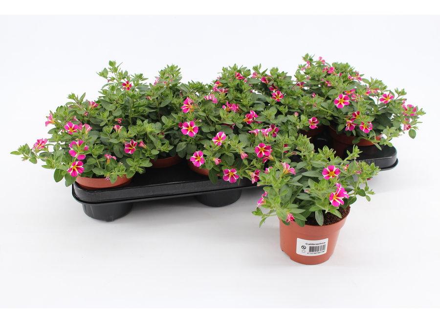 Calibrachoa rave pink