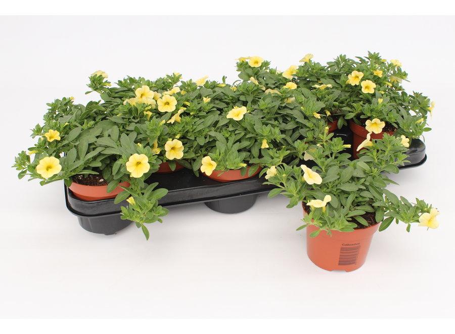Calibrachoa geel