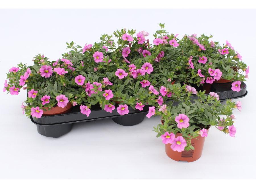 Calibrachoa roze - 12 stuks
