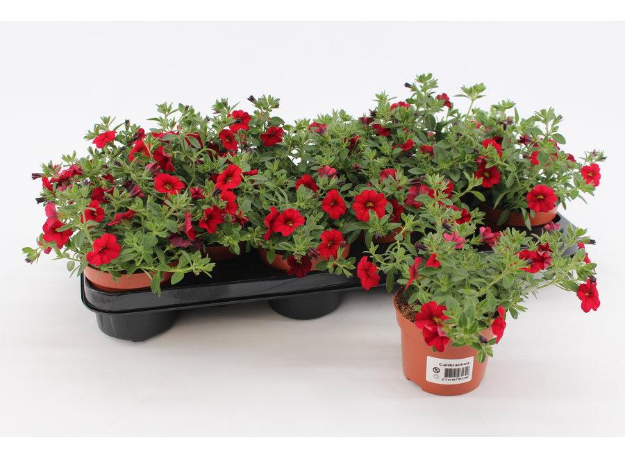 Calibrachoa rood - 12 stuks