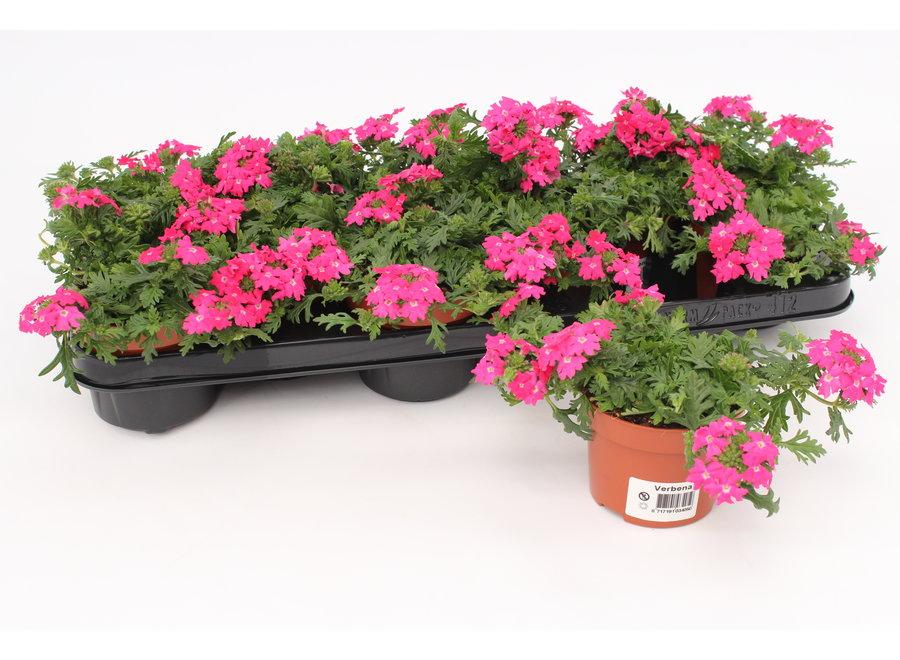 Verbena roze - 12 stuks