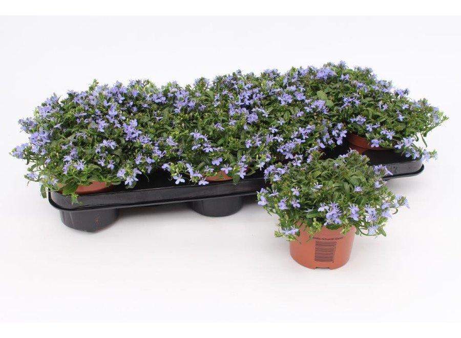 Lobelia blauw - 12 stuks