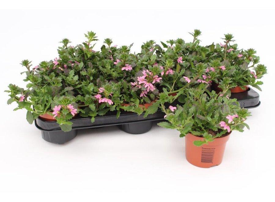 Scaevola roze - 12 stuks