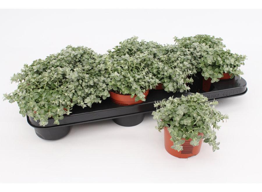 Helichrysum mini - 12 stuks