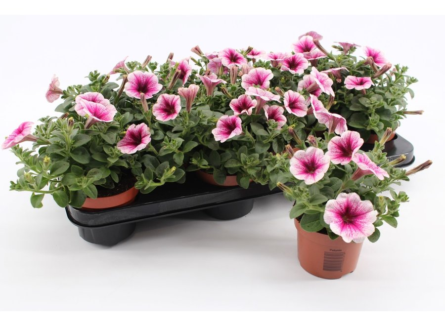 Petunia pink vine