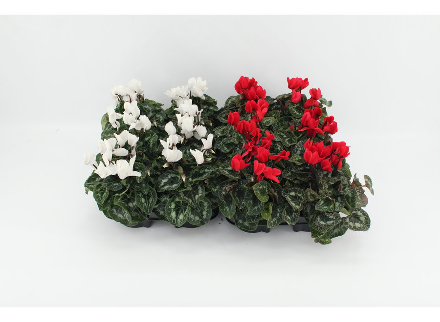 Cyclamen midi rood/wit - 12 stuks