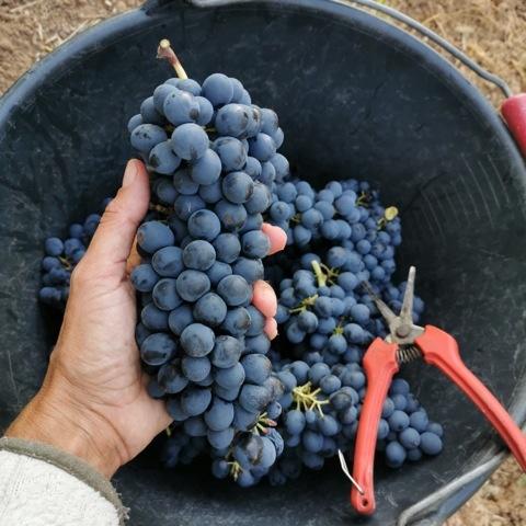 De druiven van Domaine des Passages
