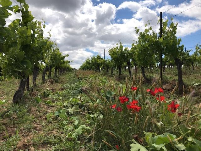 De wijngaarden van Domaine des Passages