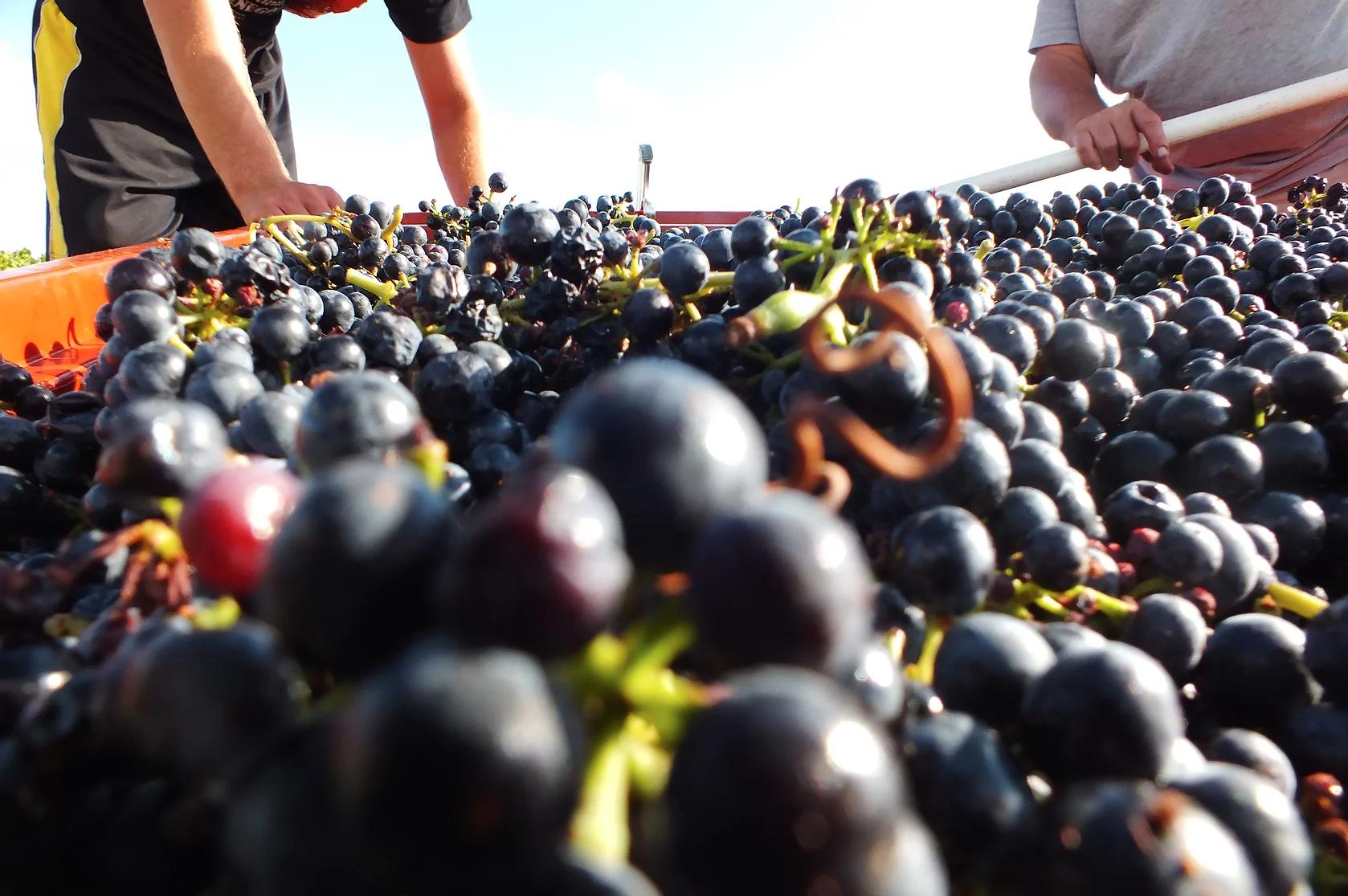 Druiven bij Bouchacourt
