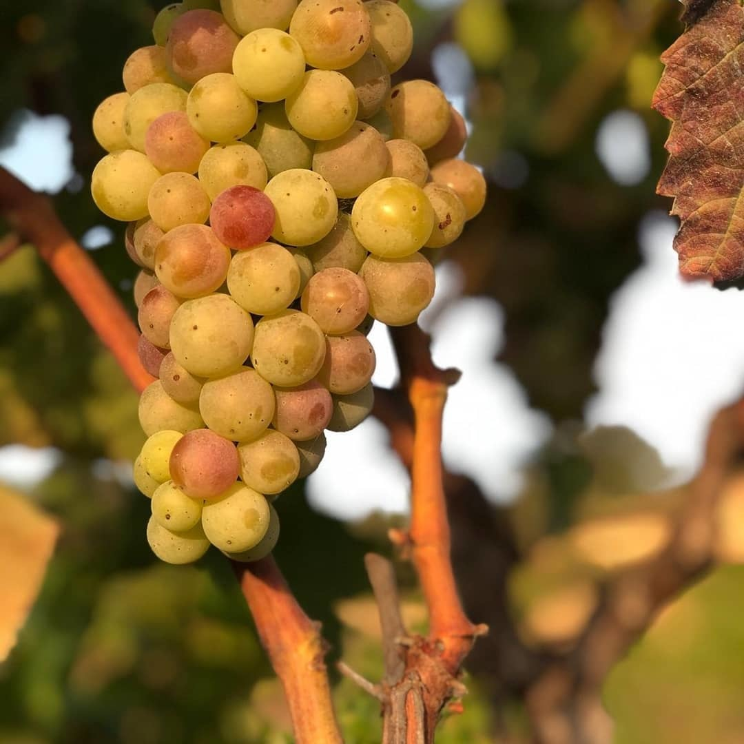 Druiven Celler del Cesc