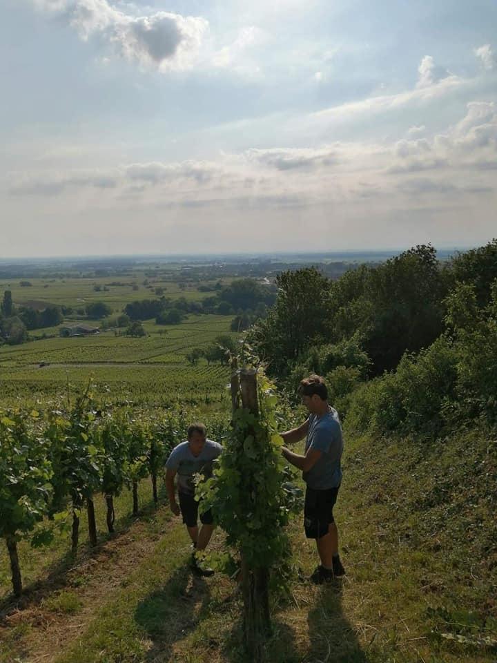 Aux travail dans les vignes Goepp