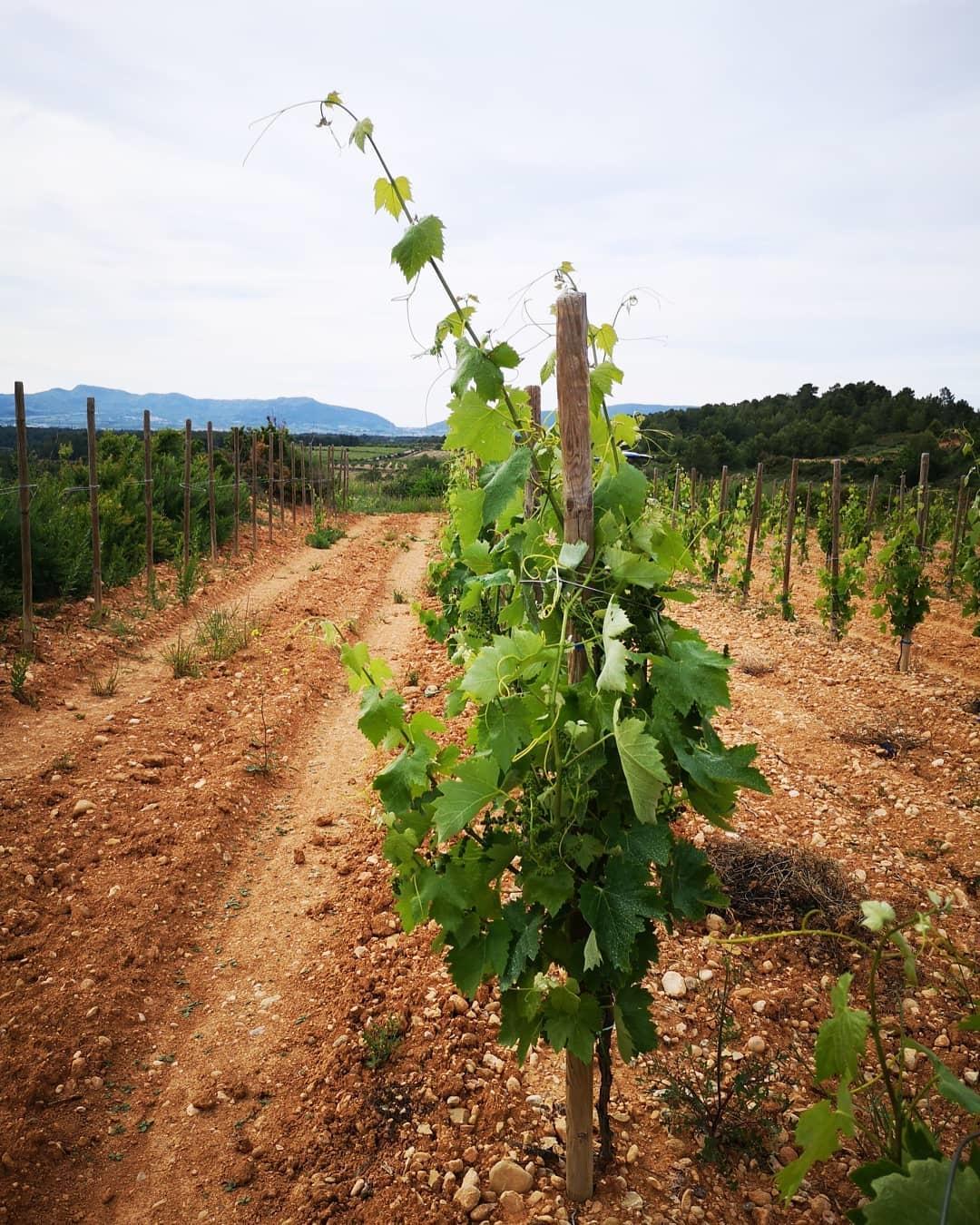 Wijnstokken Sanromà