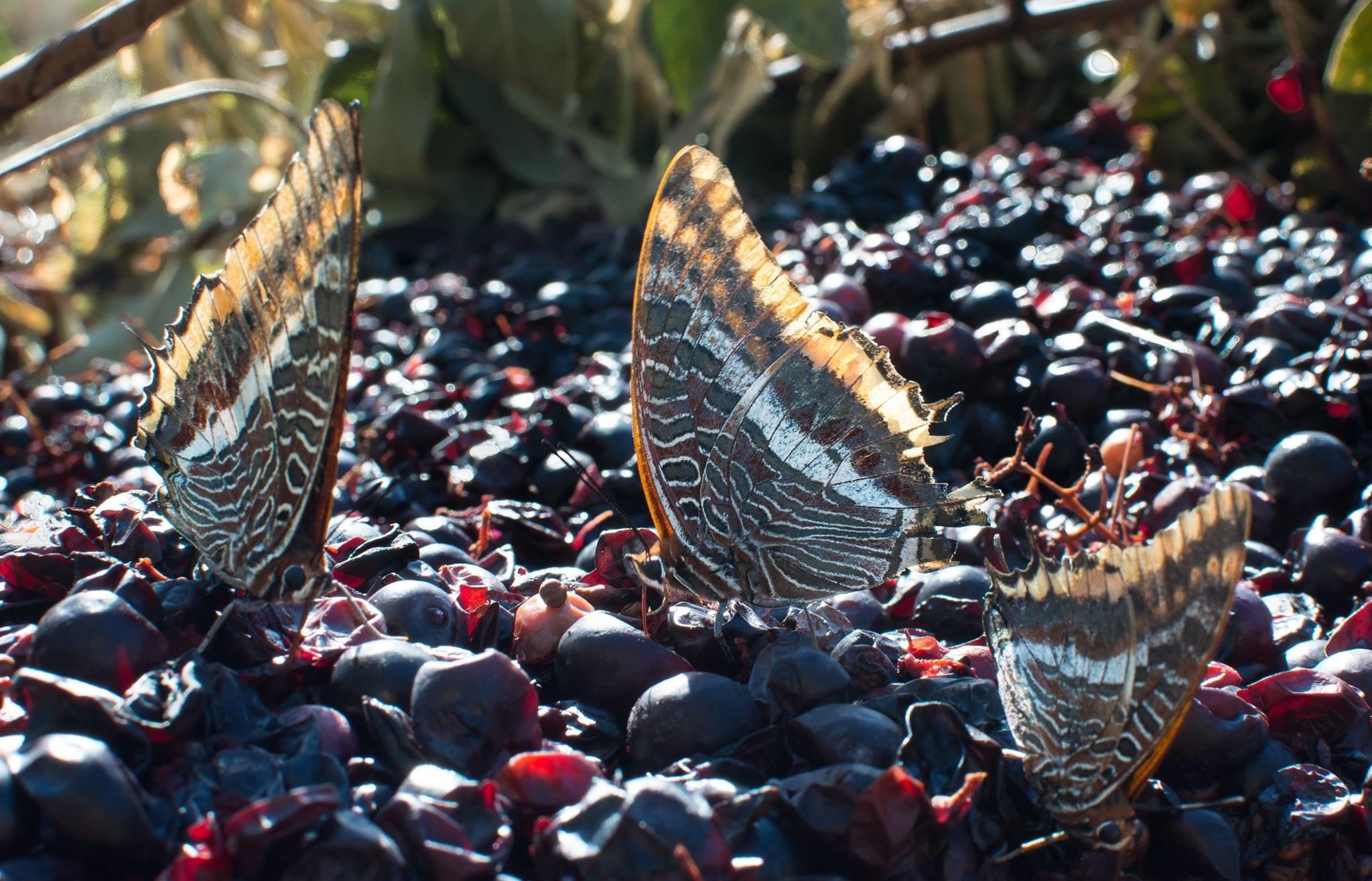 Druiven La Graine Sauvage