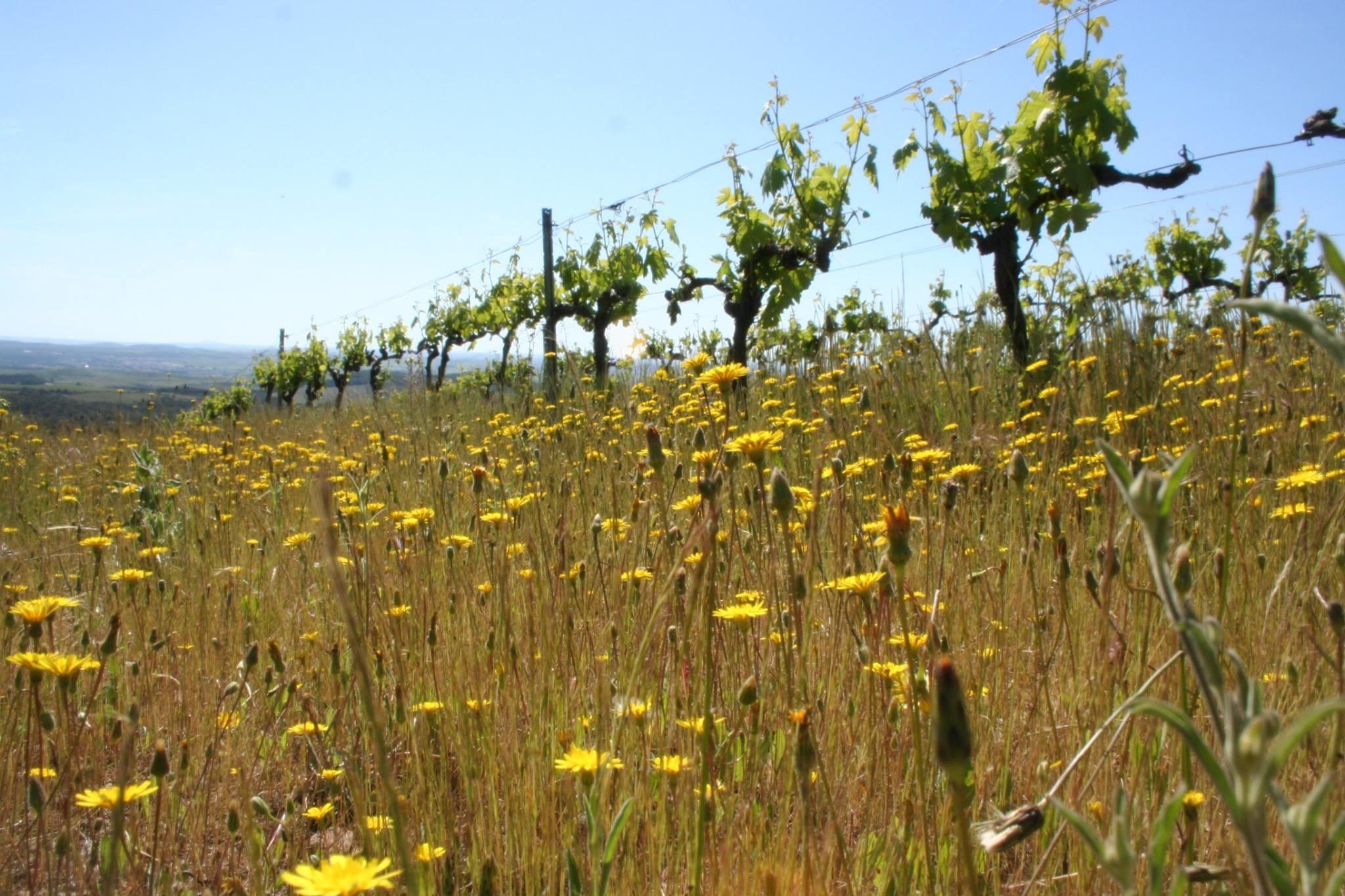 Wijnstokken La Graine Sauvage