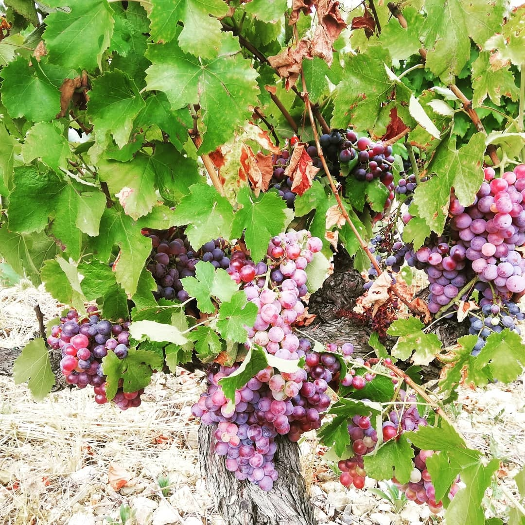 Druiven bij Pèira Levada