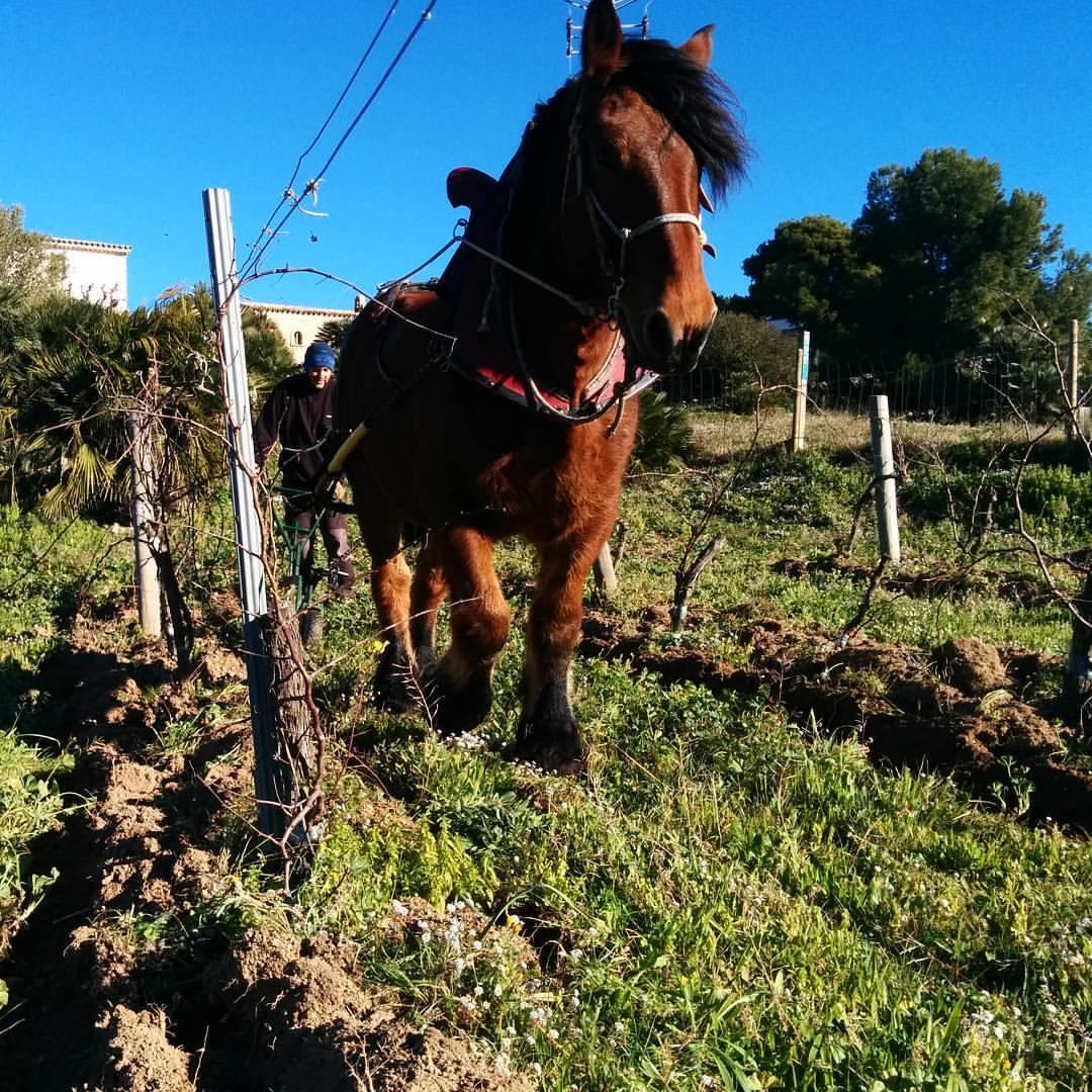 Paarden om het land te bewerken bij Nuria Renom