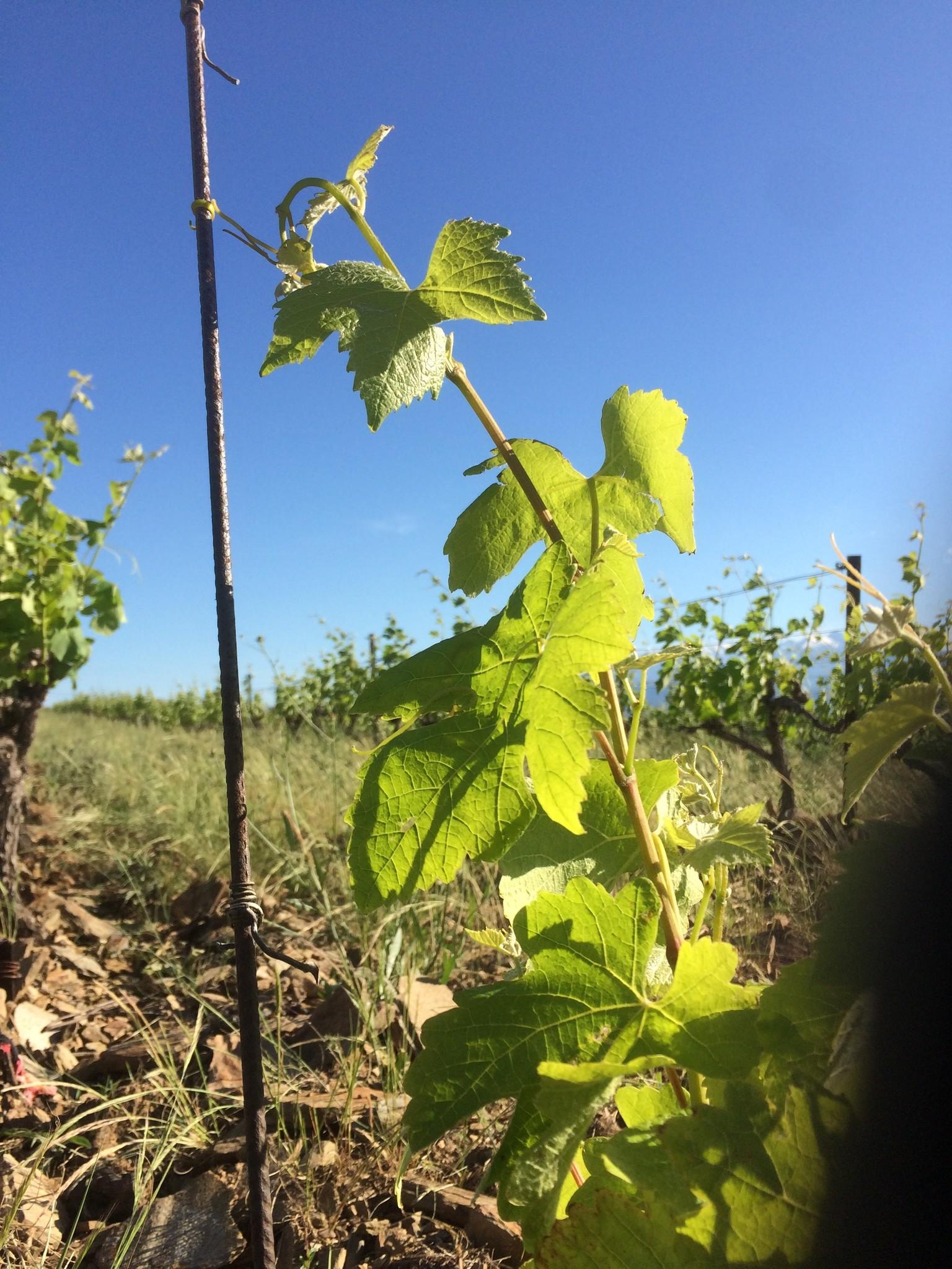 Wijnstokken La Tri Fontoj