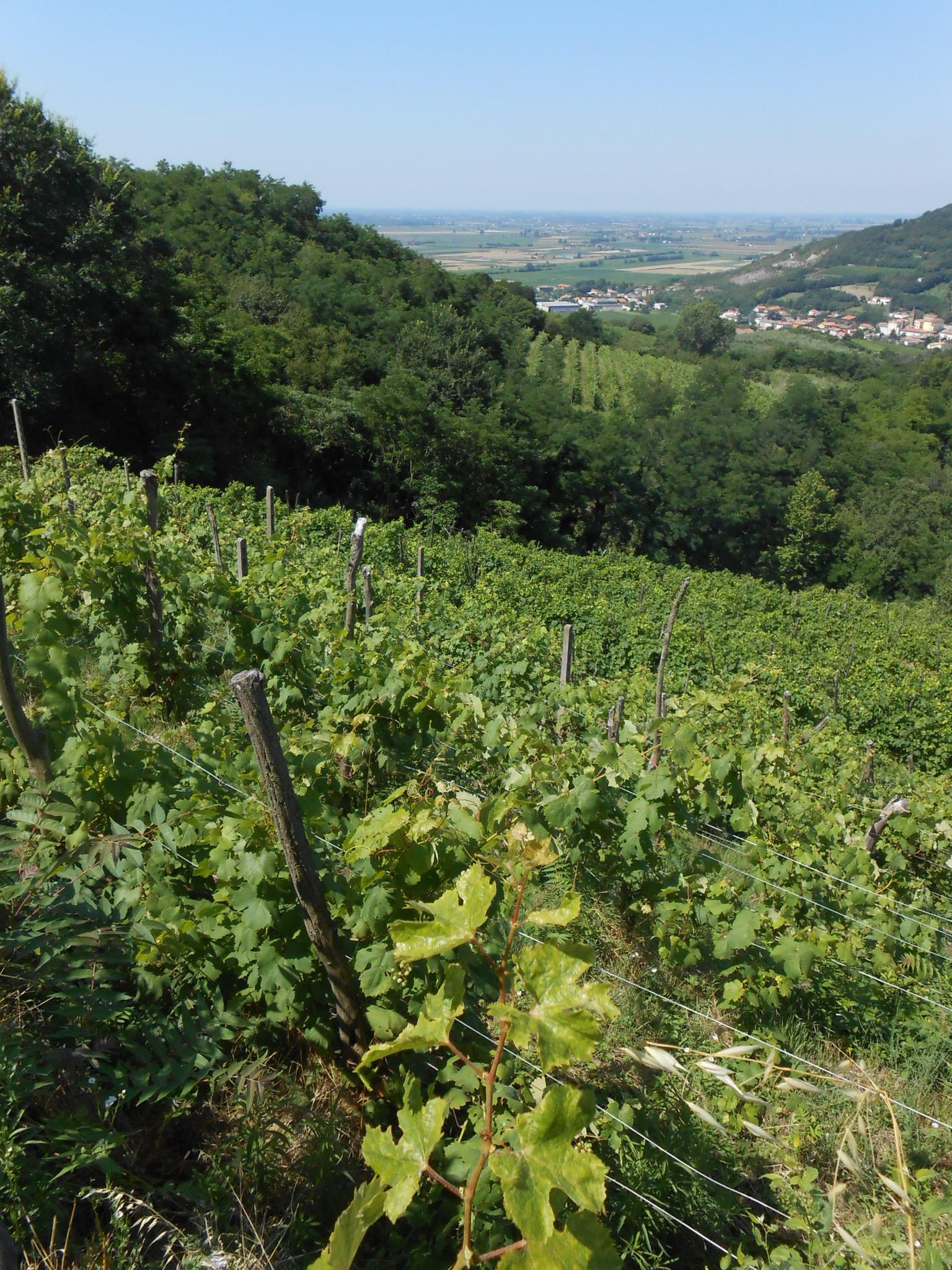 Vines I Castagnucoli