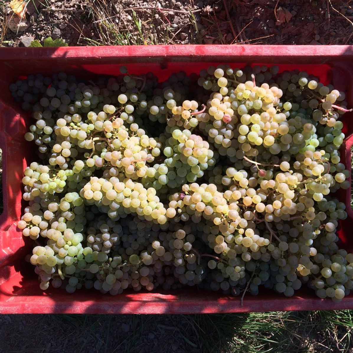 Riesling Grapes Hofgut Falkenstein
