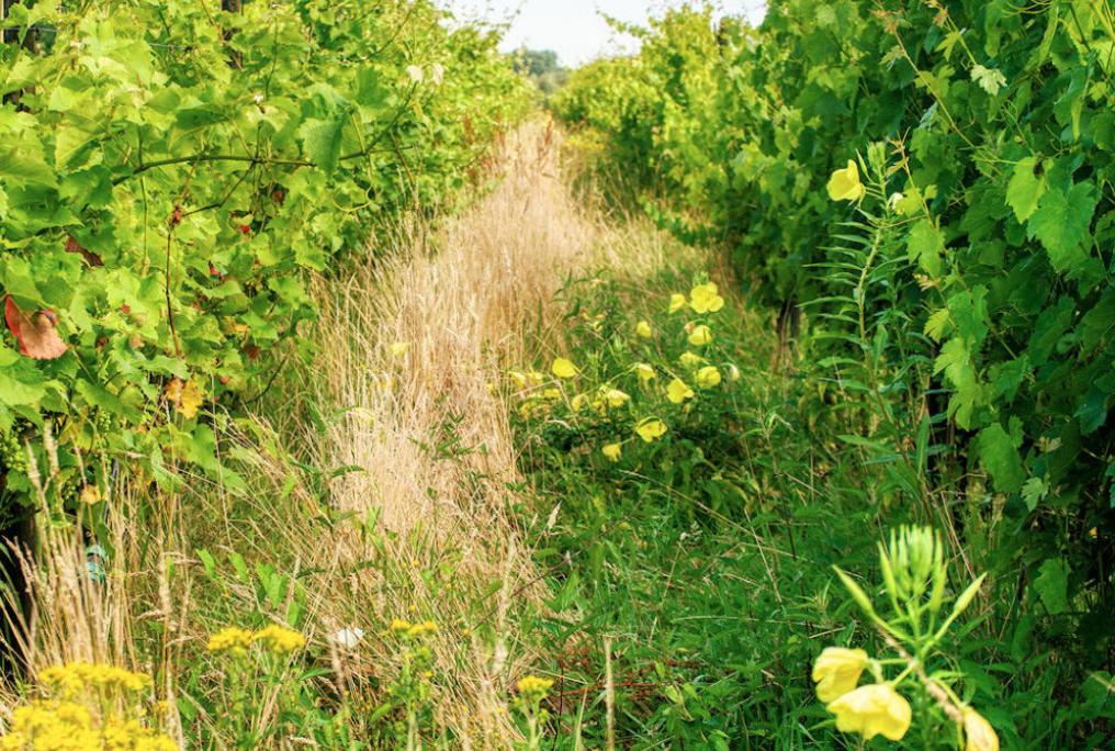 harmonie in wijngaard dassemus