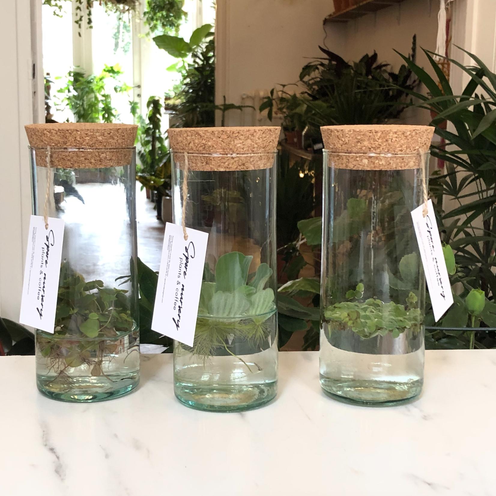 Spore Nursery Aquarium cilinder met Pistia stratiotes