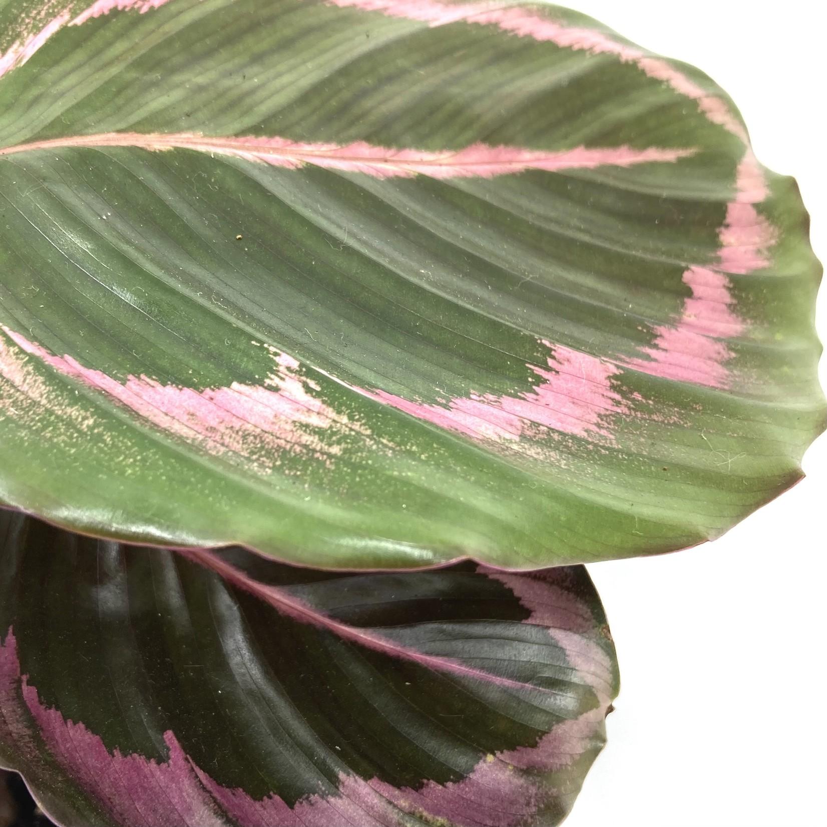 Calathea roseopicta 'Surprisestar'