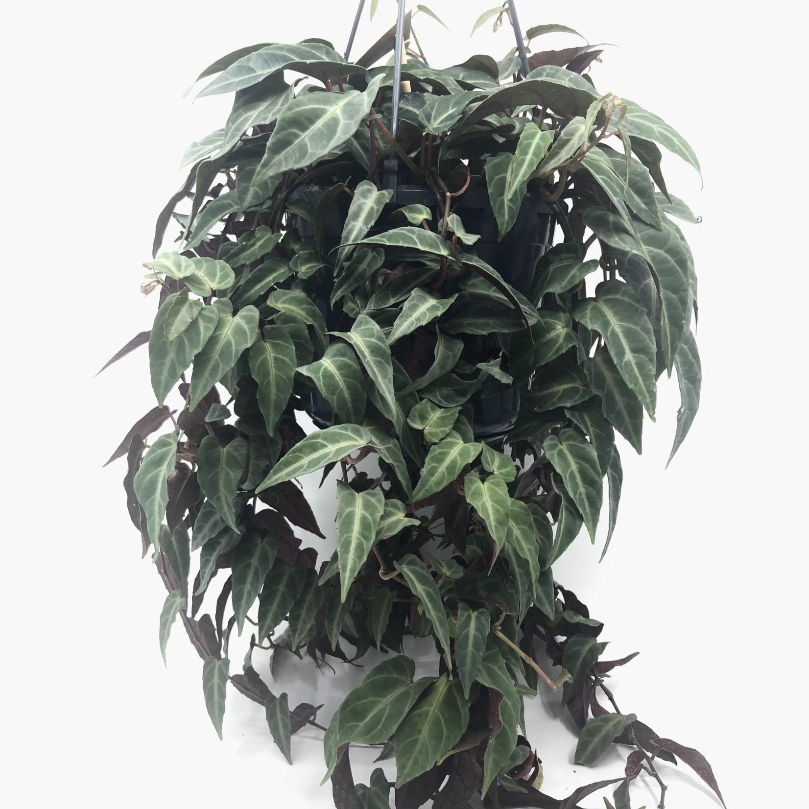 Parthenocissus amazonica