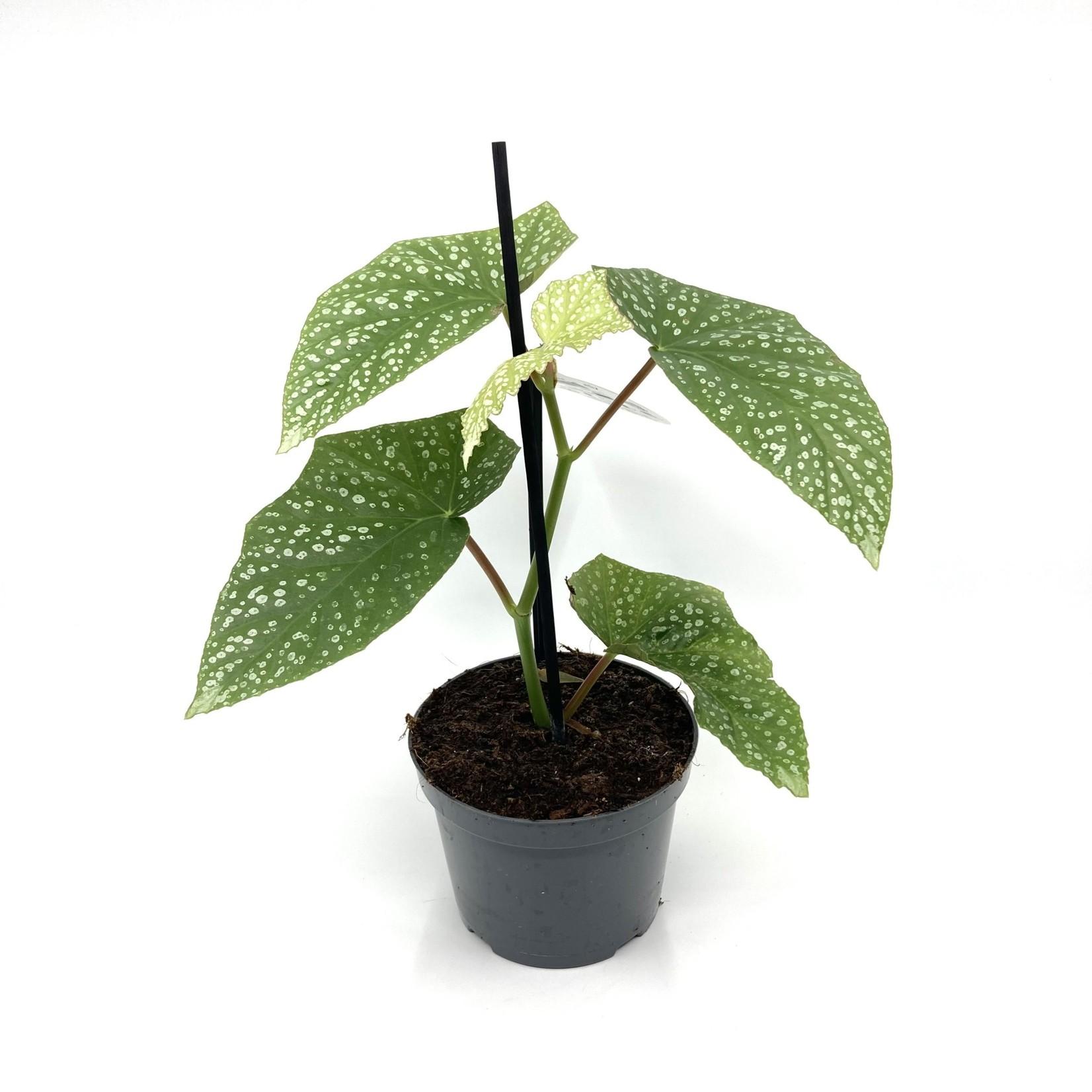 Begonia 'Snowcap'