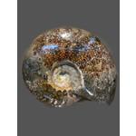 Ammonite grande 1kg