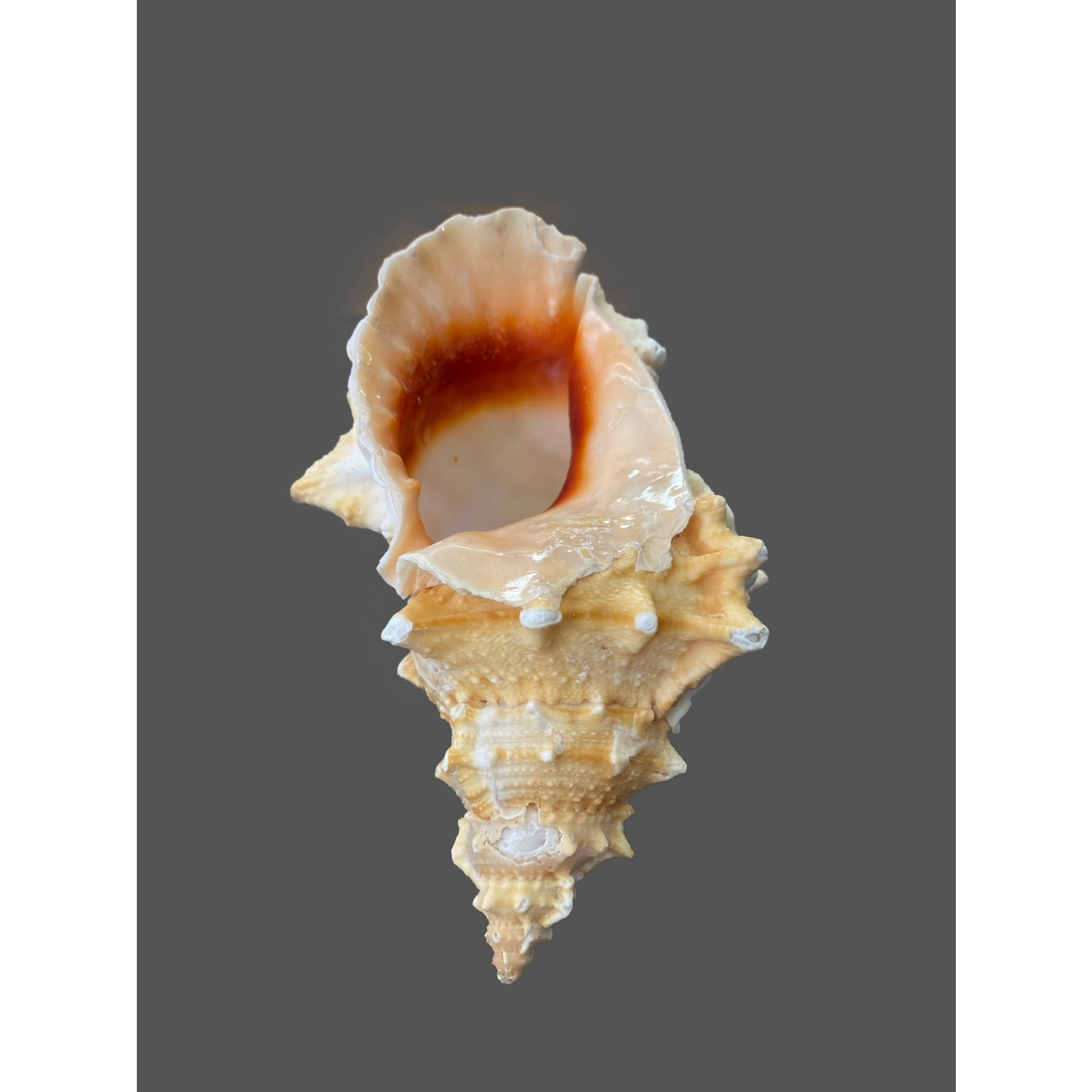 Bursa lissotoma +14cm