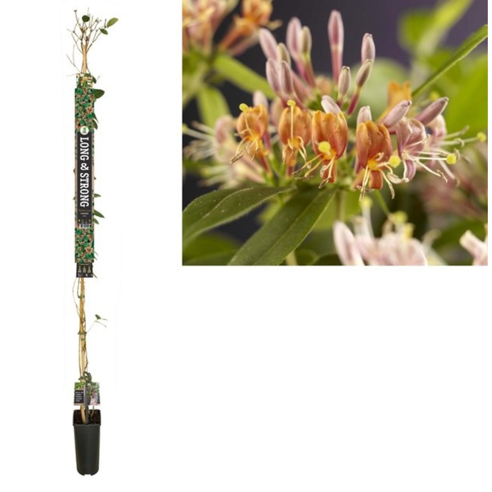 Long & Strong Lonicera henryi 'Copper Beauty' (Kamperfoelie)