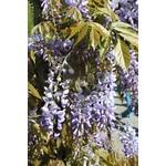 Long & Strong Wisteria sinensis 'Prolific' (Blauwe regen)