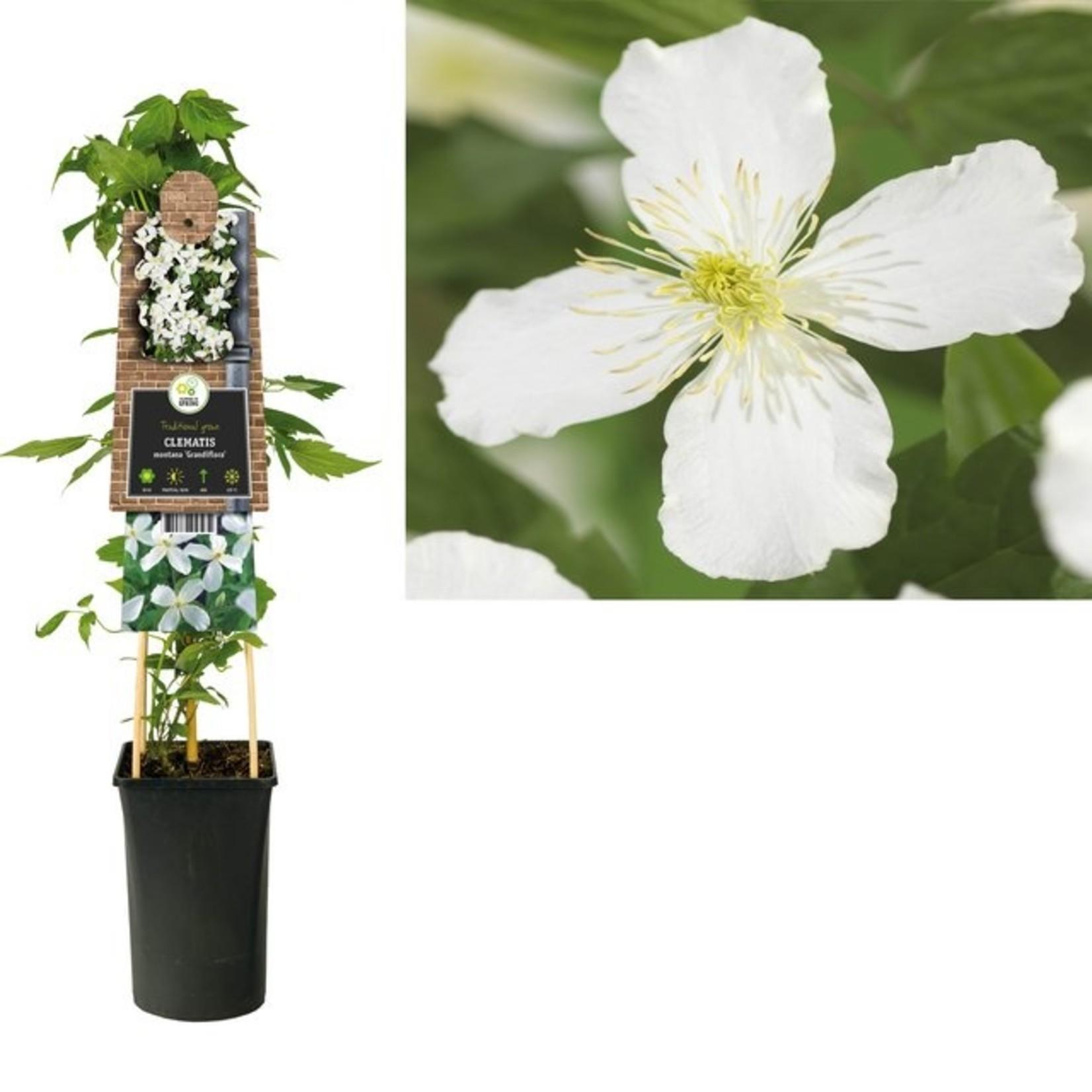Clematis montana 'Grandiflora' (Bosrank)