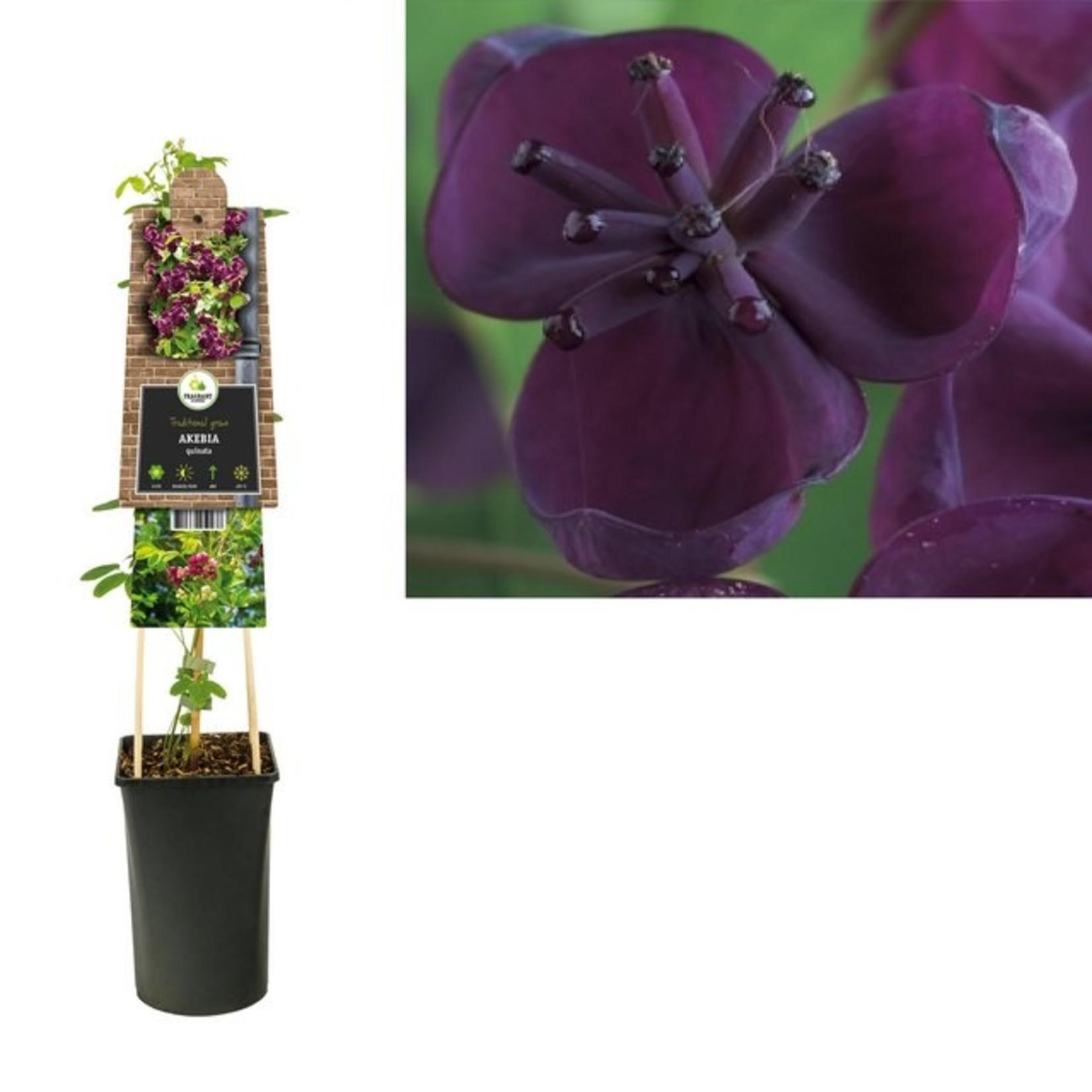 Akebia quinata (schijnaugurk)