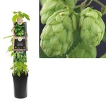 Humulus lupulus (hopplant)