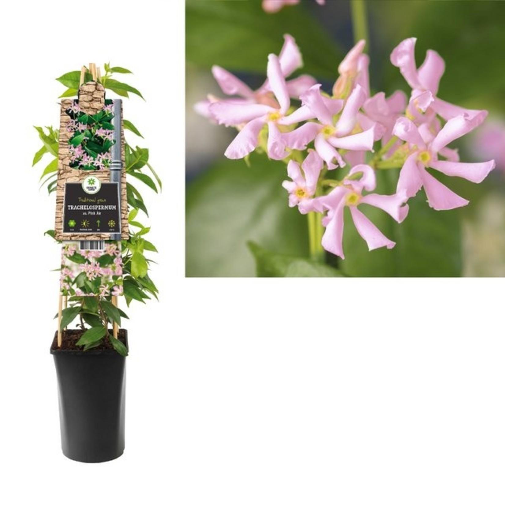 Trachelospermum 'Pink Air' (roze Toscaanse Jasmijn)