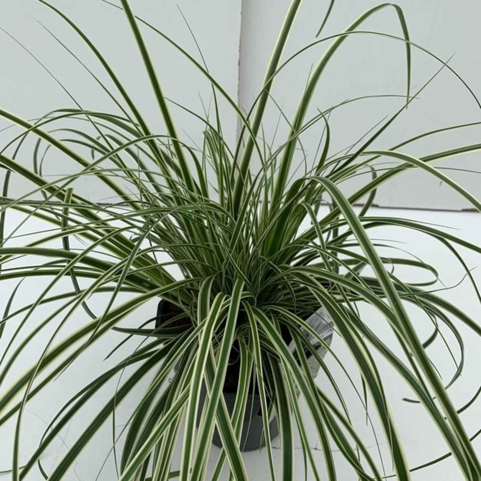Carex oshimensis 'Evercream' (bontbladige zegge)