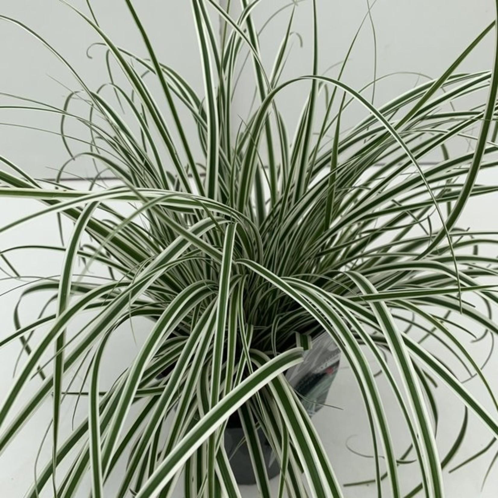 Carex oshimensis 'Everest' (Bontbladige zegge)
