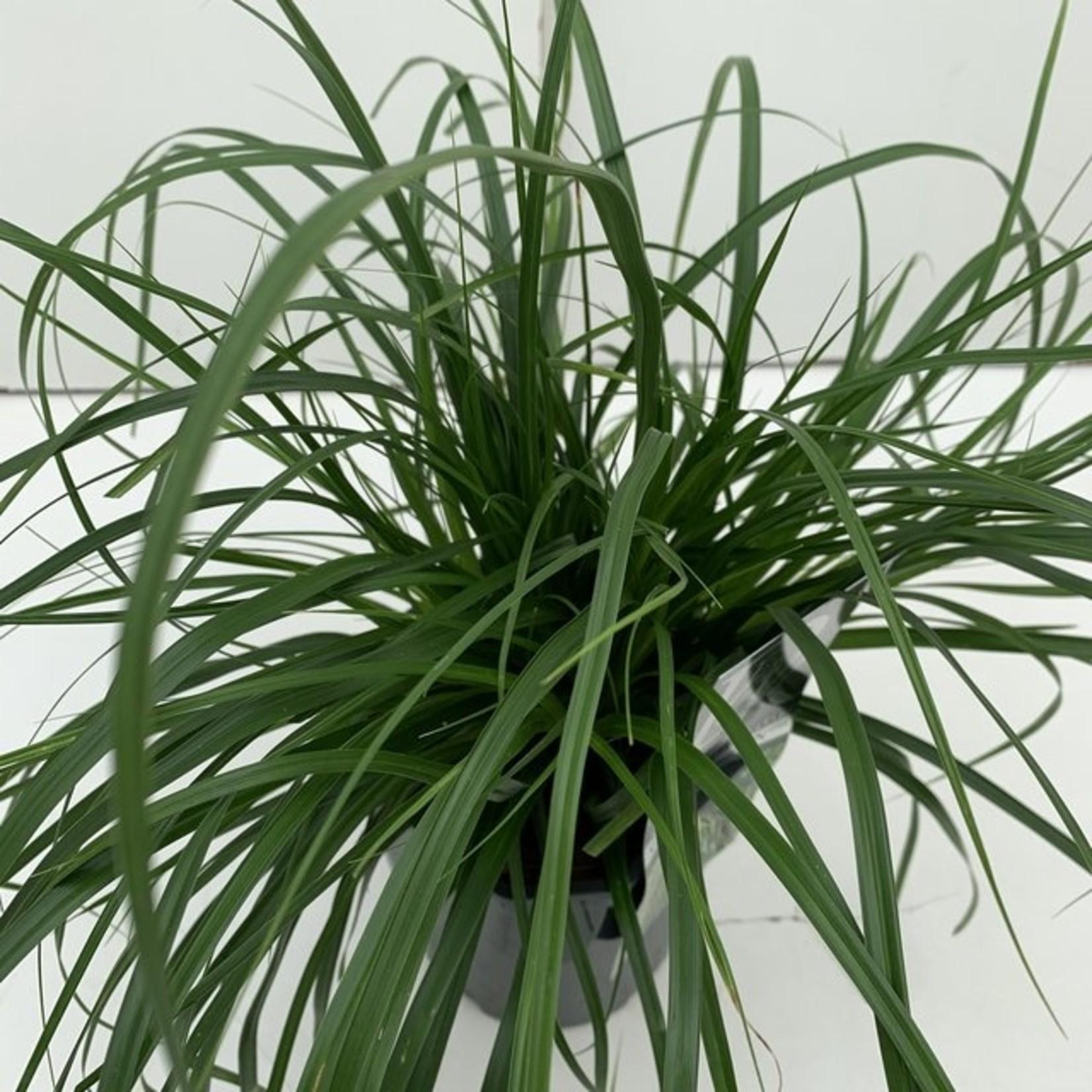 Carex oshimensis 'Evergreen' (Groenbladige zegge)