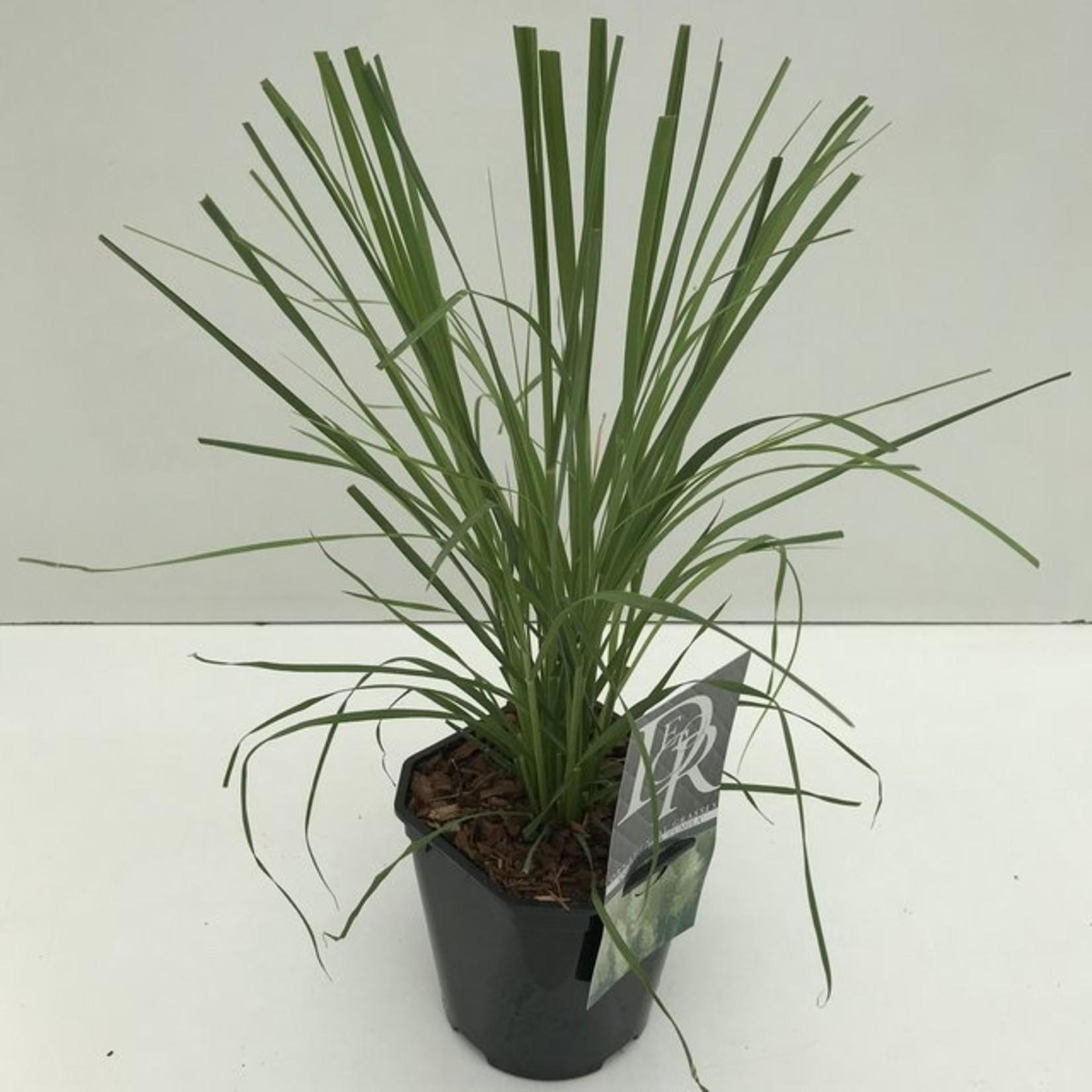 Cortaderia selloana 'Pumila' (pampasgras)