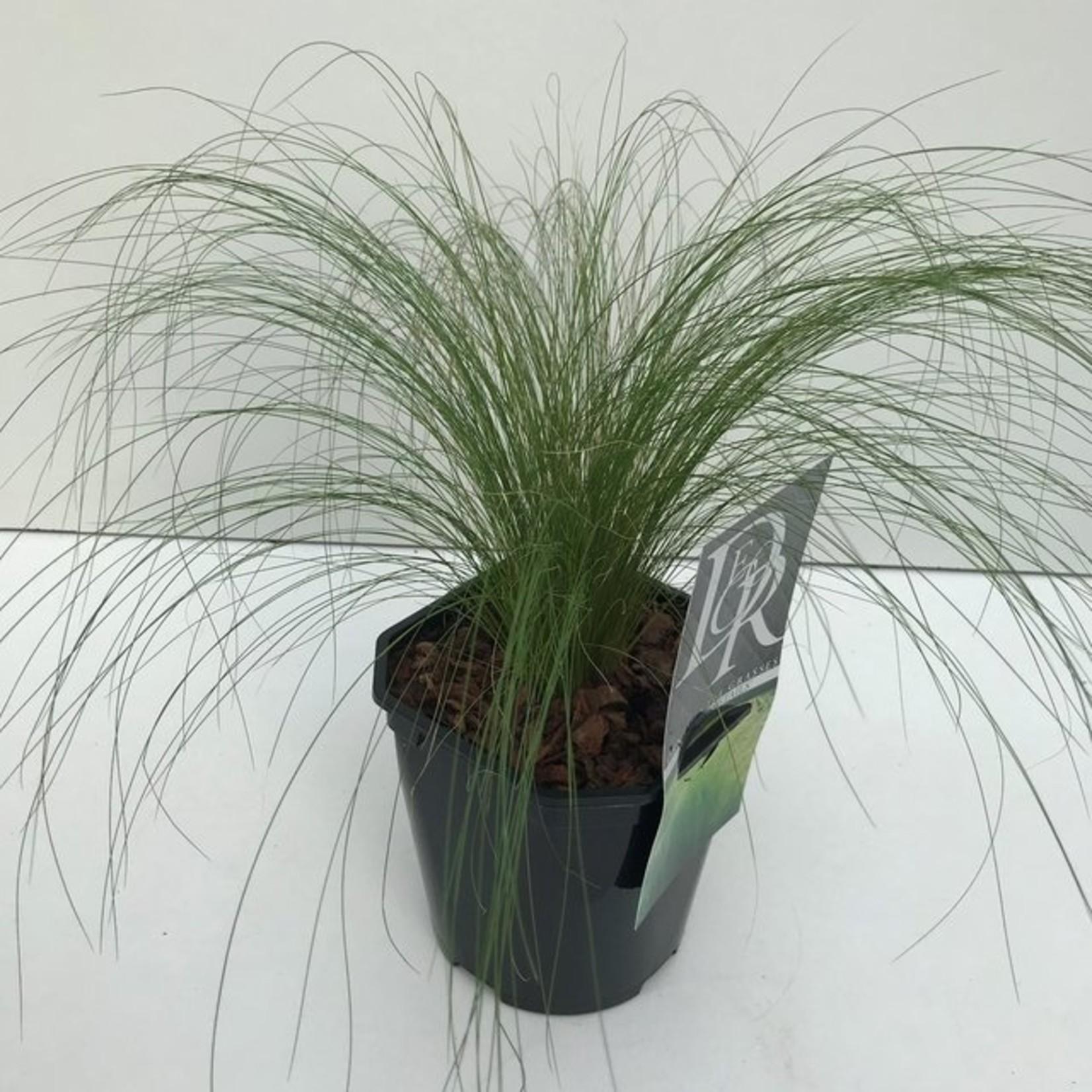 Stipa tenuifolia 'Ponytails' (Vedergras)