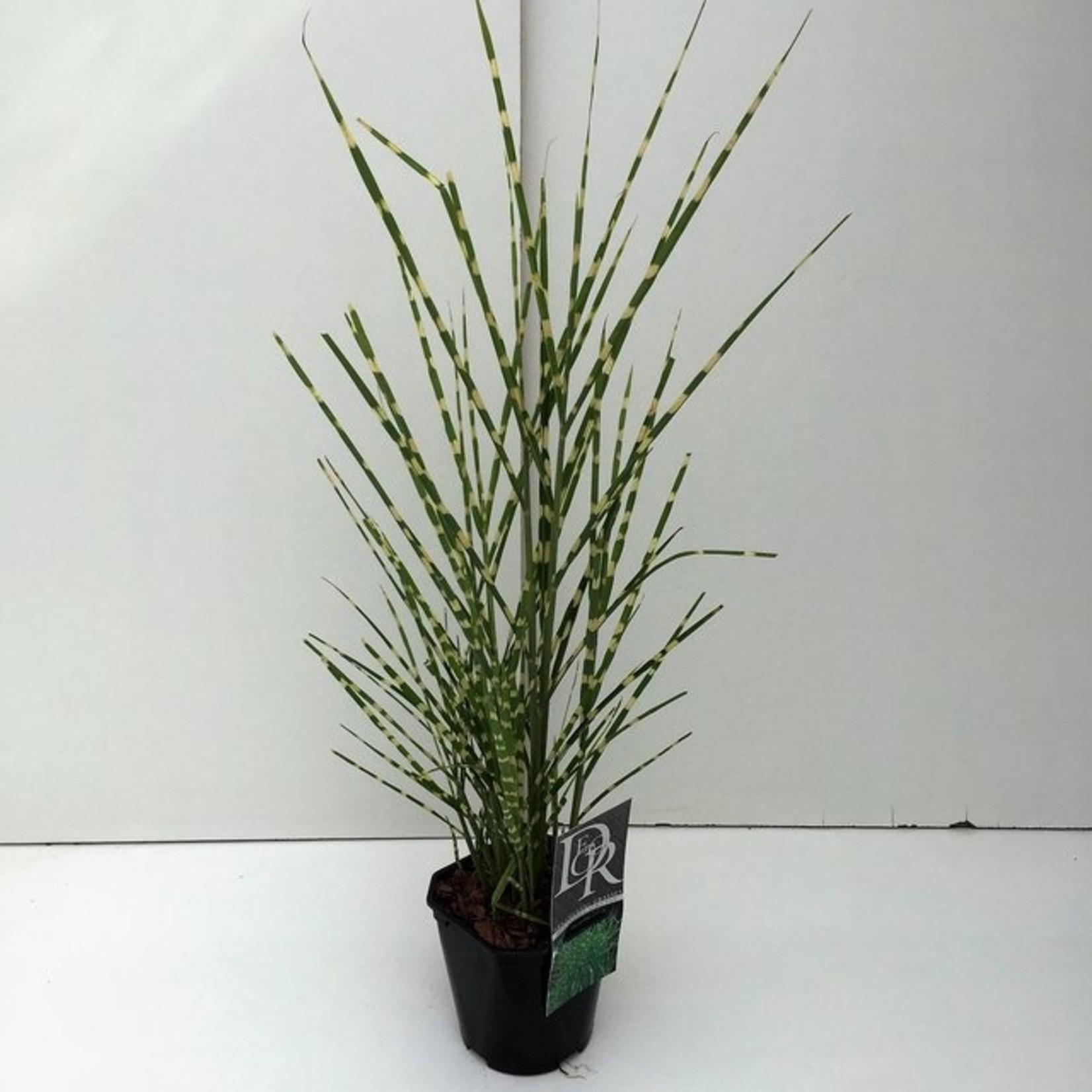 Miscanthus sinensis 'Strictus' (Prachtriet)