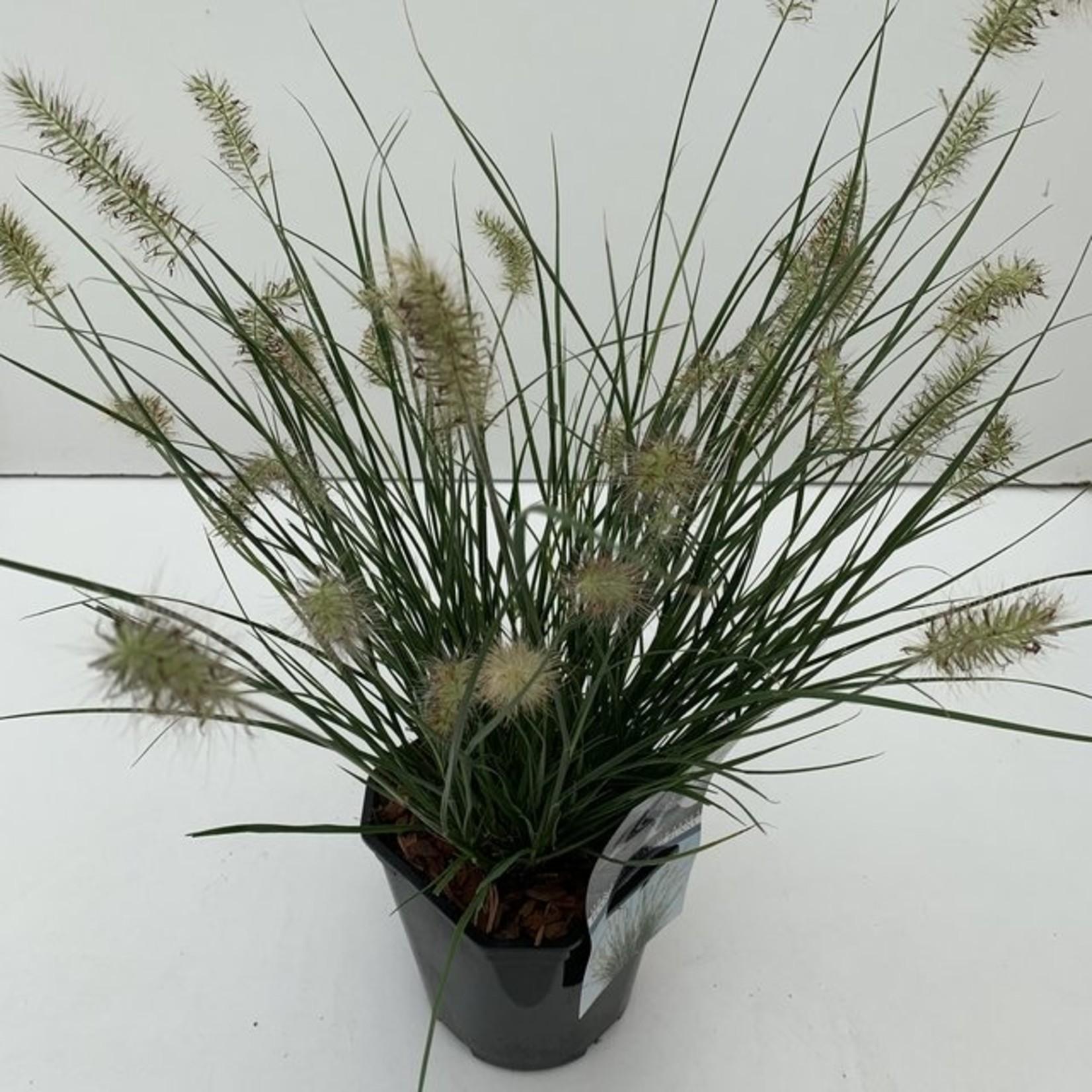 Pennisetum alopecuroides 'Little Bunny' (mini Lampenpoetsersgras)