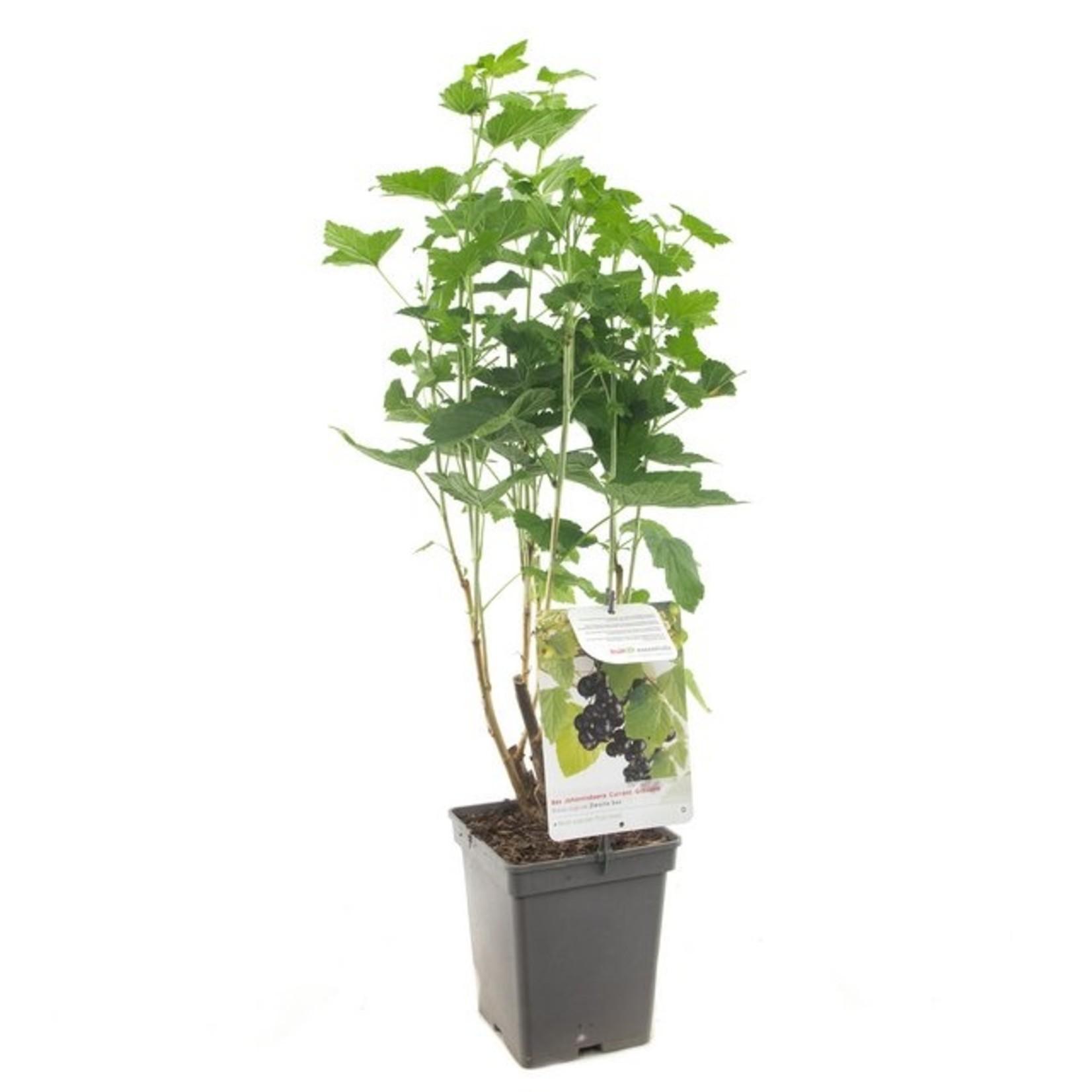 Ribes nigrum (zwarte bes)