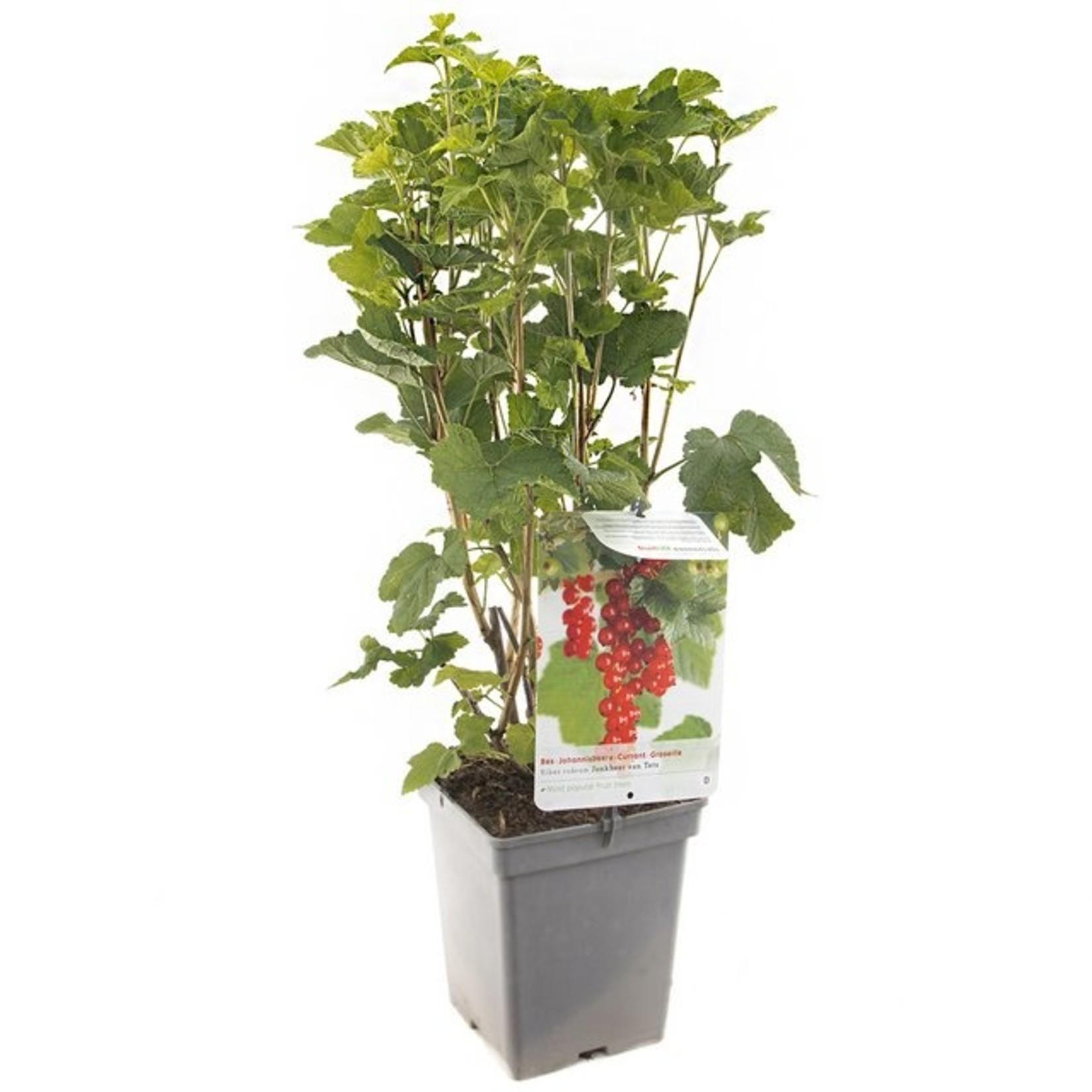 Ribes r. 'Jonkheer van Tets' (Rode bes)