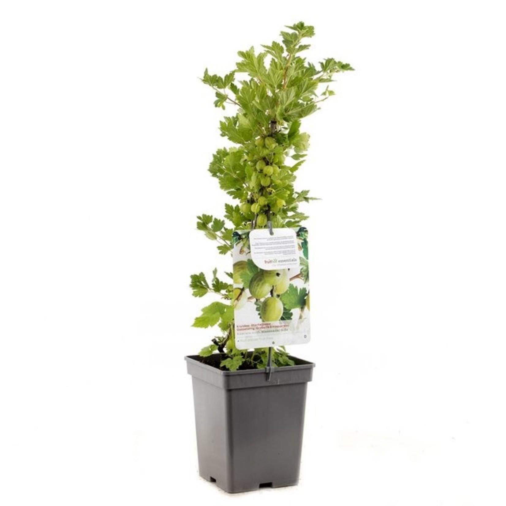 Ribes uva-crispa 'Hinnonmaki Grön' (groene kruisbes)